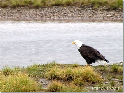 Bald Eagle on the shore