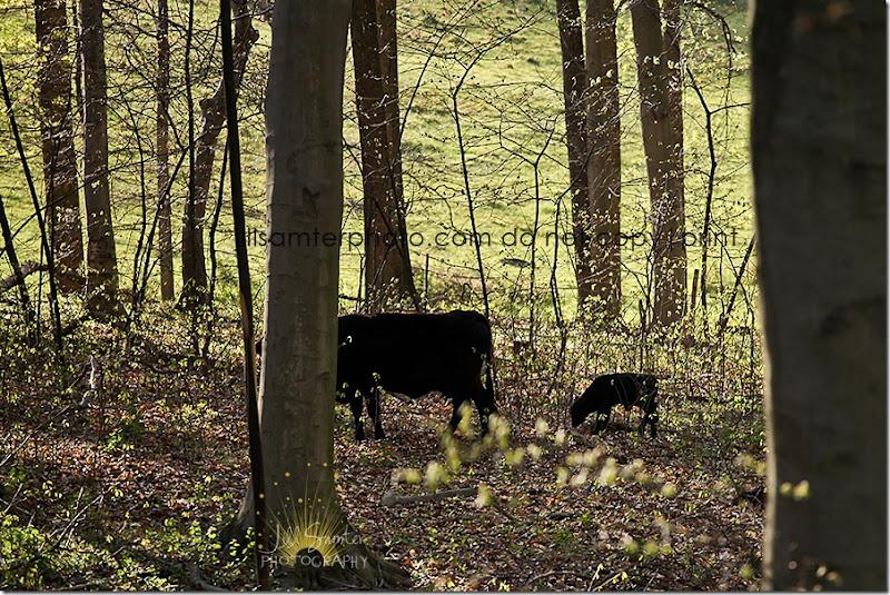 cows-6670