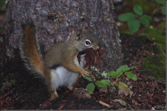 Squirrel gathering nesting material