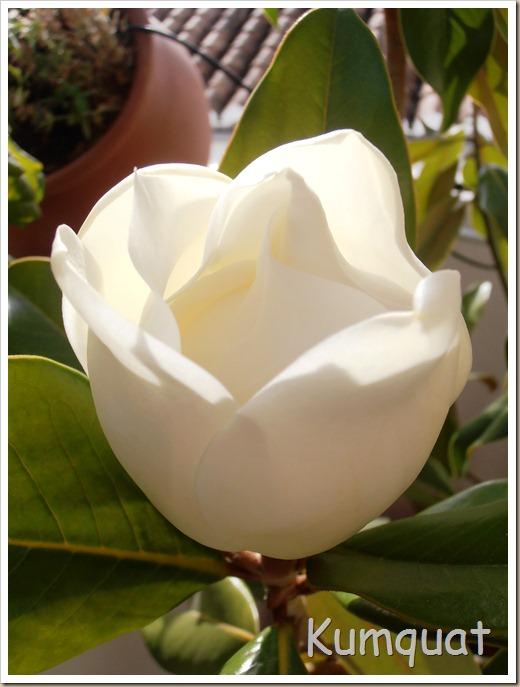 magnolio 1