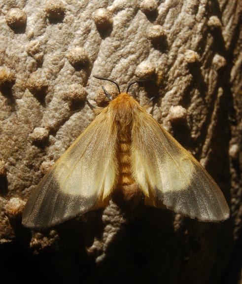 Arctiidae. Une sp. très insolite dont les chenilles vivant en colonie tissent un cocon d'une soie ligneuse très dure, se confondant avec le bois de l'arbre (env. 6 cm). Madagascar, février 2011. Photo : T. Laugier