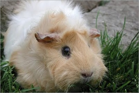 Abyssinian Guinea Pig 01