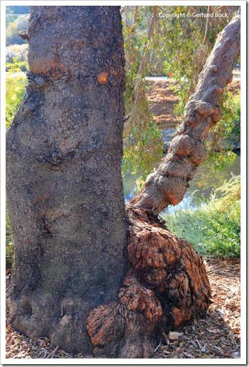 131124_UCD_Arboretum_AustralianCollection_Eucalyptus-behriana_01