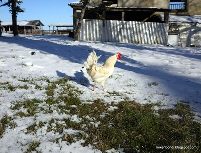 snow cockerel