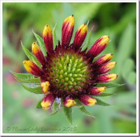 03-18-blanket-flower