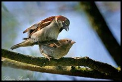 sparrows mating
