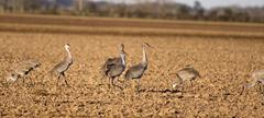 Sandhill Cranes Herbert Road Waller Texas