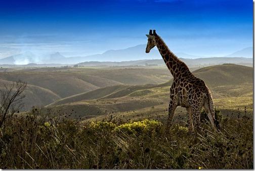 WildlifephotographyGiraffe_thumb1