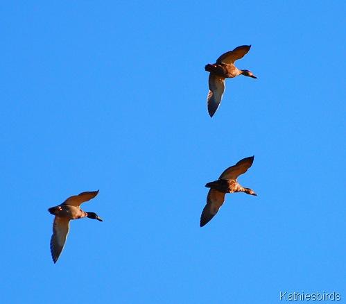 9. ducks-kab