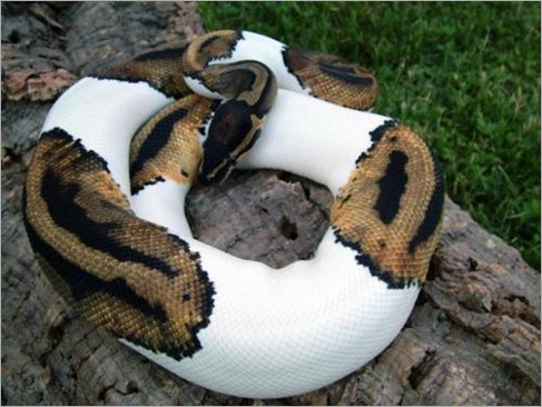 Half albino python