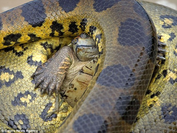 Mismatch The turtle fought for his life against the anaconda, which can grow to up to 20 feet and weigh 21 stone