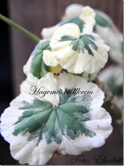 Pelargonium 27 juli - 14 008