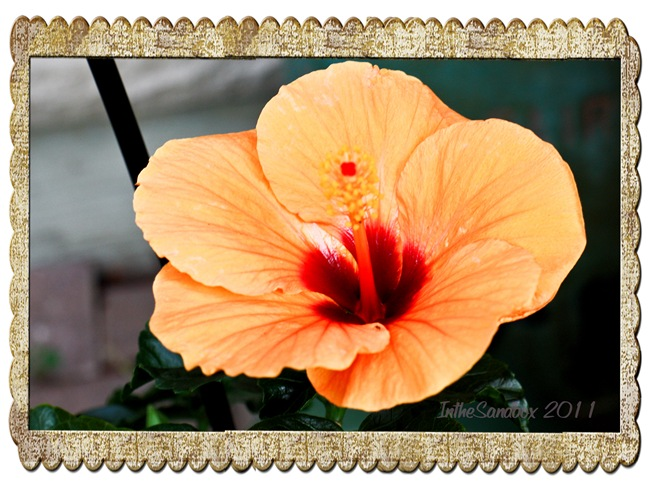 hibiscus in old frame