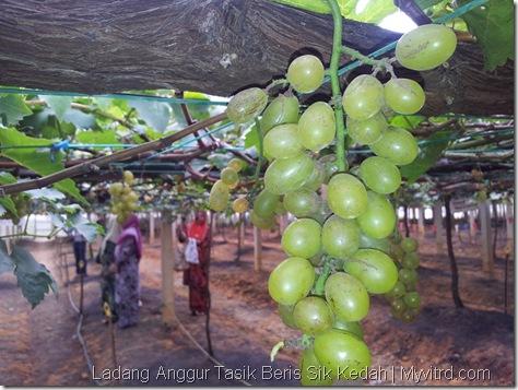 Ladang Anggur Tasik Beris 19