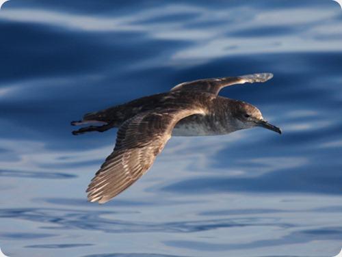 aves_albatros