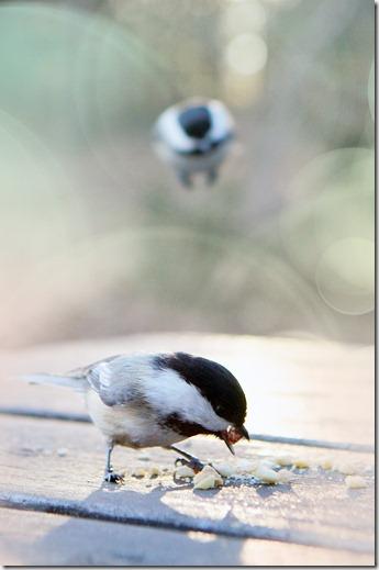 Bird Dual rs