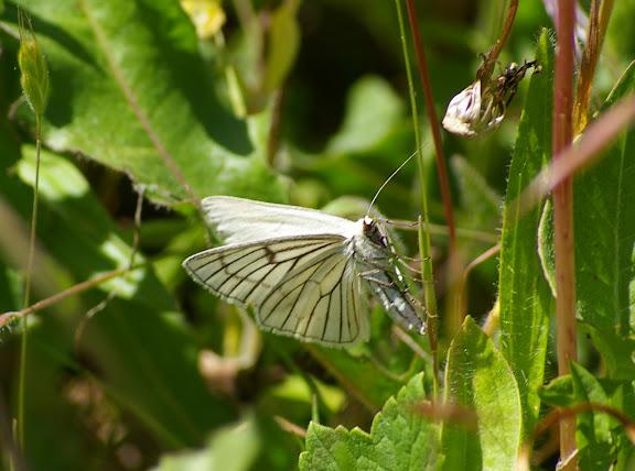 Geometridae : Ennominae : Siona lineata (SCOPOLI, 1763). Hautes-Lisières (Rouvres, 28), 13 mai 2011. Photo : J.-M. Gayman