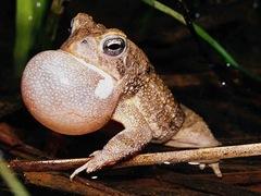 amfibios en peligro de extinción