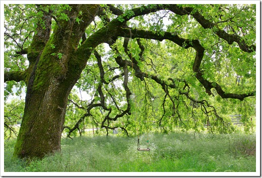 130407_Redding_Quercus-lobata_29