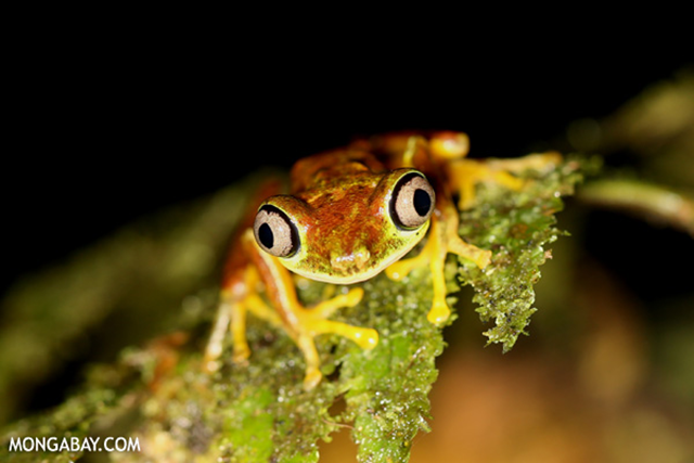 Lemur tree frog in Costa Rica. Climate change may push canopy-dwelling plants and animals out of the tree-tops due to rising temperatures and drier conditions. Photo: mongabay.com