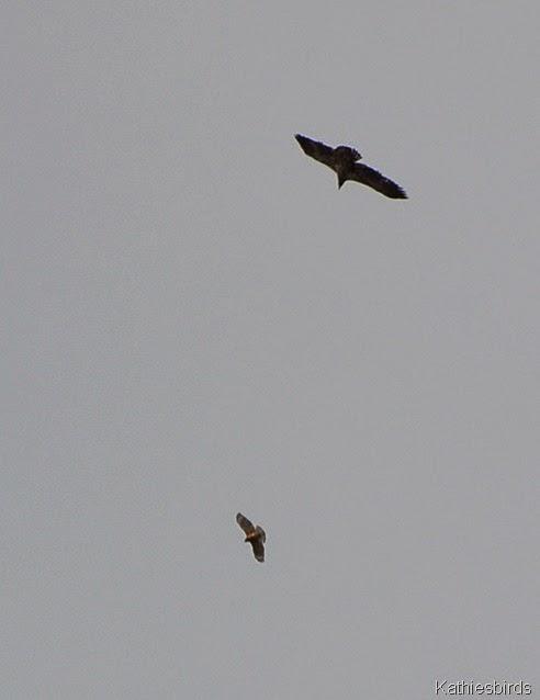 11. hawk and eagle-kab