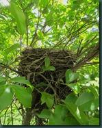robin nest0425 (2)