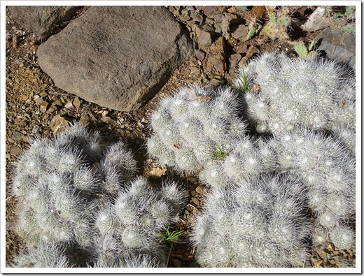 111008_rbg_Mammillaria-geminispina_02