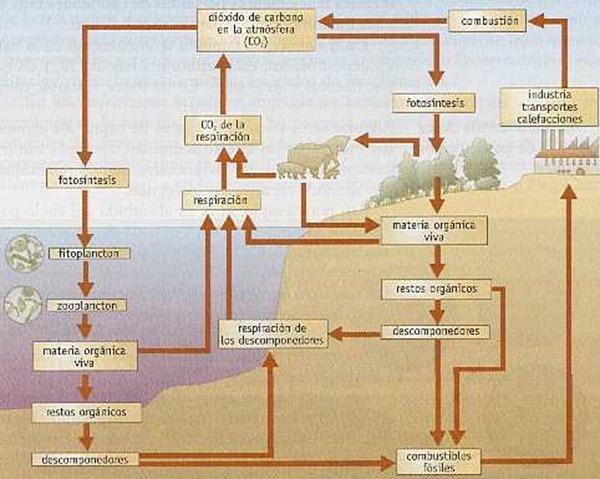 ciclo-del-carbono-explicado