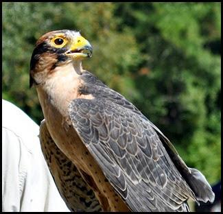 05d - Lanner Falcon