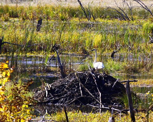 Trumpeter swan on top of a beaver lodge