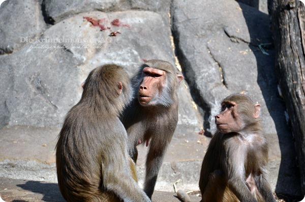 Zoo Frankfurt Paviandebatte 150813