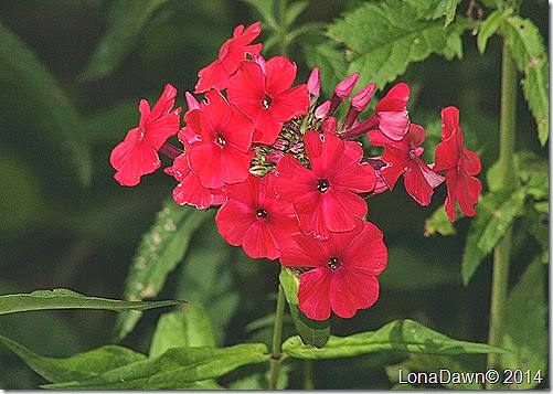 Phlox paniculata Peacoch Cherry Red