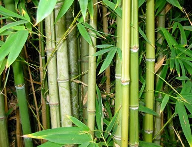 Bamboo_Forest_sml