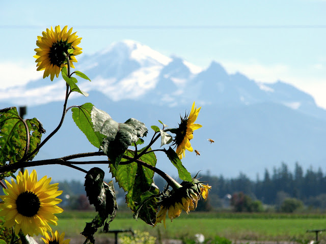 October 2010 - 3rd Place / Sunflowers, bees and Mount Baker at the Whatcom County food bank farm / Credit: Juline Bajada