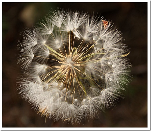 110708_Tragopogon-dubius_13