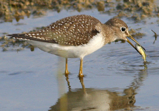 9-19-09, Minor Clark Fish Hatchery, Solitary Sandpiper, 9:04 a.m.