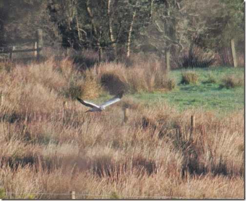 3 hen-harrier-3