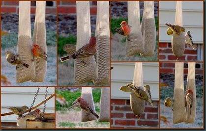 finches collage