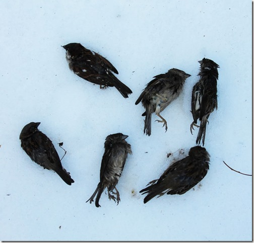 dead-sparrows