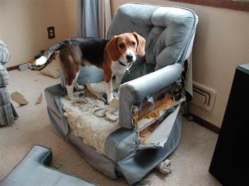 Собака испортила кресло