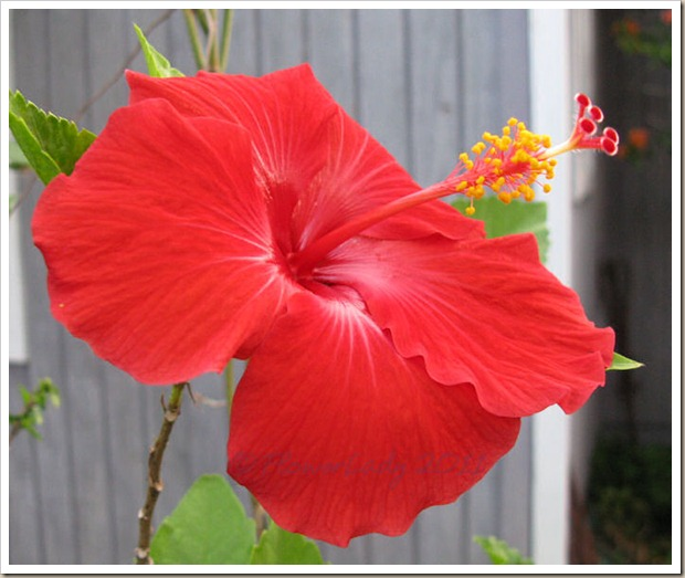 12-16-hibiscus2