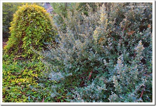 131124_UCD_Arboretum_AustralianCollection_Correa-Ivory-Bells_04