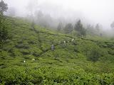 Through the tea plantation on Tangkuban Parahu (Daniel Quinn, November 2010)