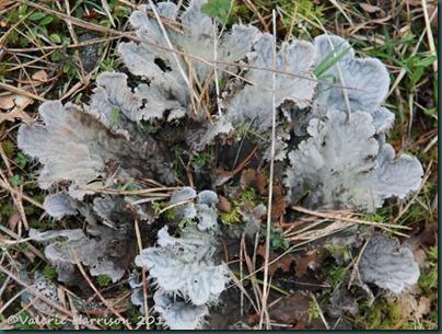 28-dog-lichen