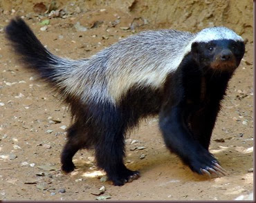 Amazing Animals Pictures  honey badger (Mellivora capensis) (1)
