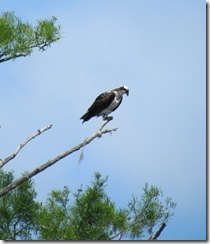 Osprey looking for lunch!