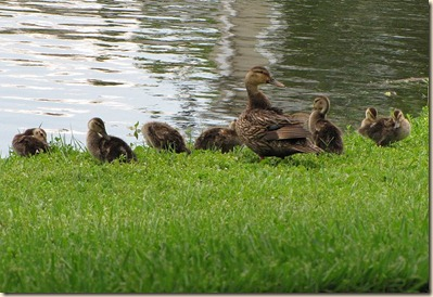 may22800ducks[1]