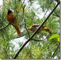 male Oriole with young