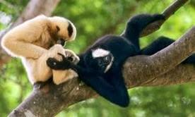 Amazing Pictures of Animals, Photo, Nature, Incredibel, Funny, Zoo, Gibbons, Hylobatidae, Primate, Mammals, Alex (12)