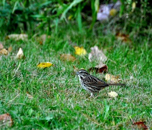 4. song sparrow-kab